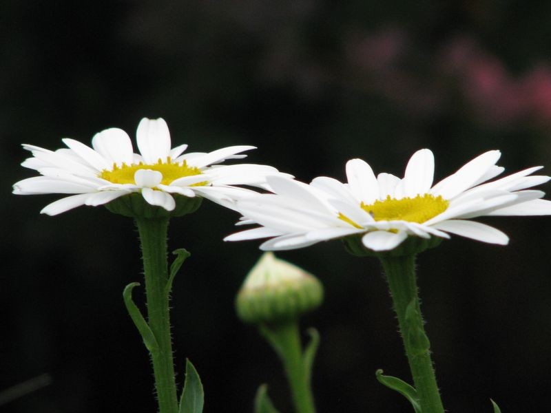 Two shasta daisies @ www.picturetrish.com