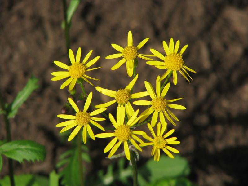 Senecio daisies at www.picturetrish.com