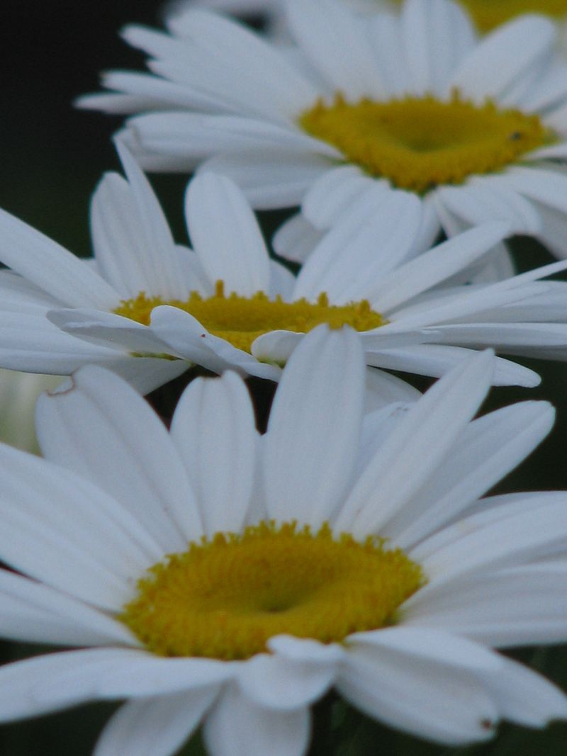 Daisies on Parade @ www.picturetrish.com