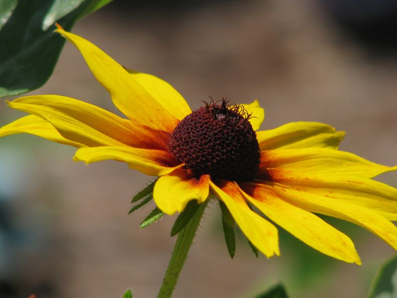 Brown Eyed Susans @ www.picturetrish.com