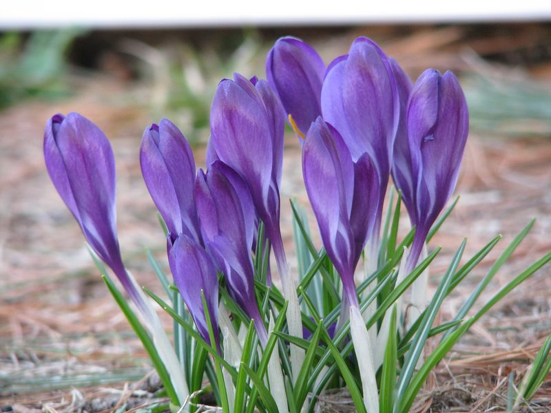 Blue Crocus at picture trish