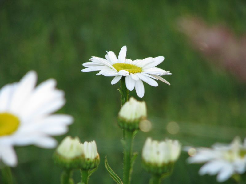 Shasta Daisies at picture trish