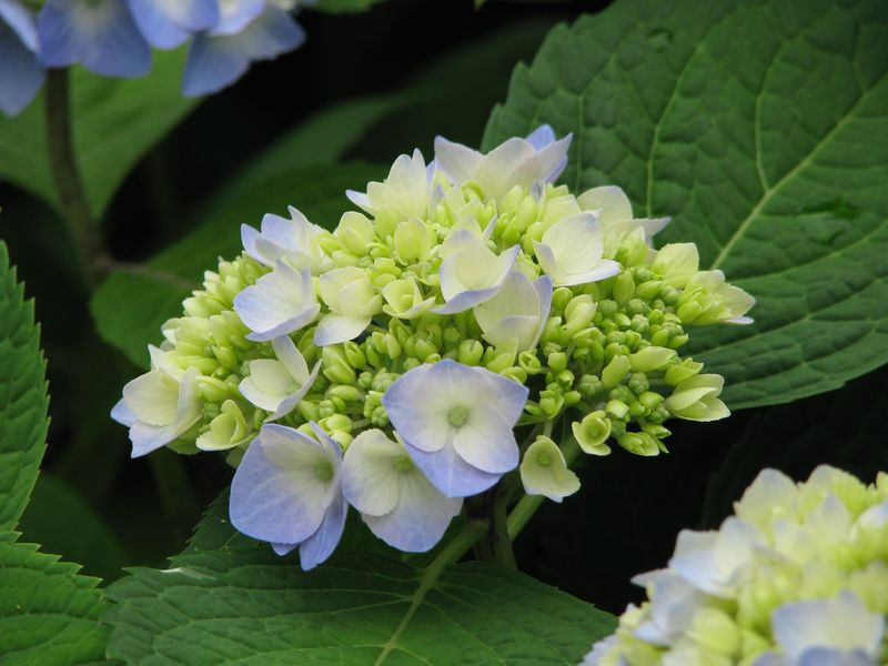 Beautiful Hydrangeas at picture trish