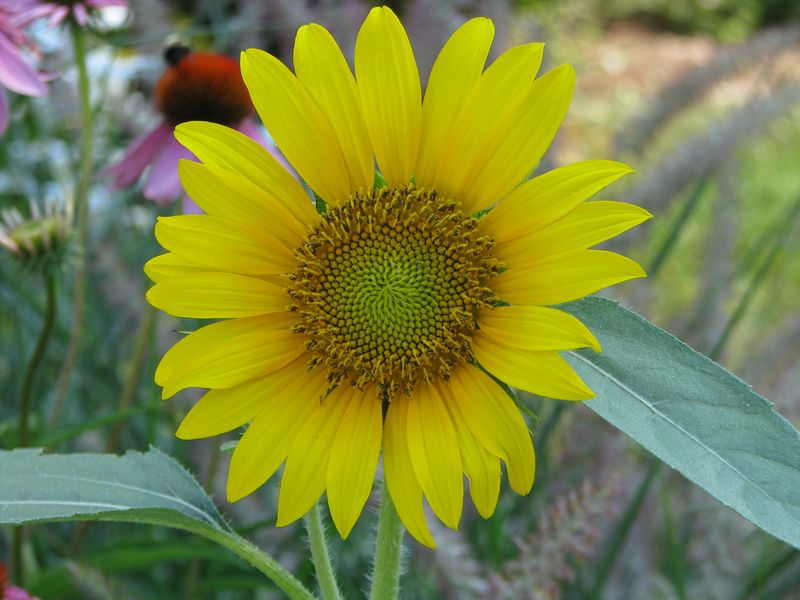Backyard Sunflowers @ PictureTrish.com